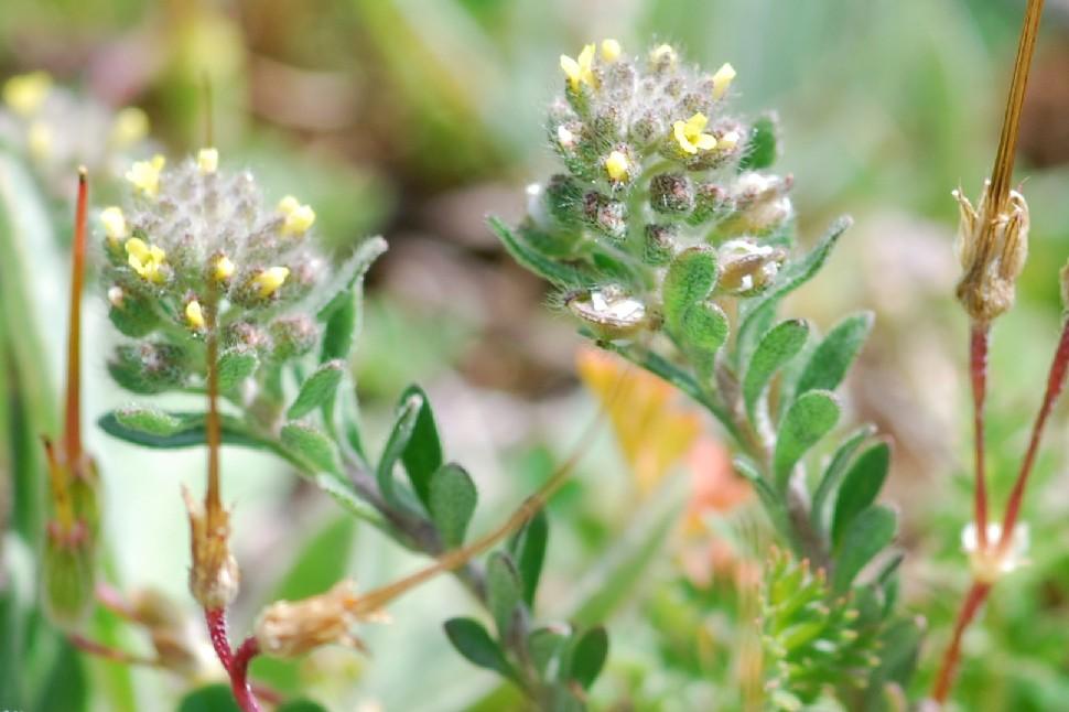 Alyssum campestre subsp. campestre