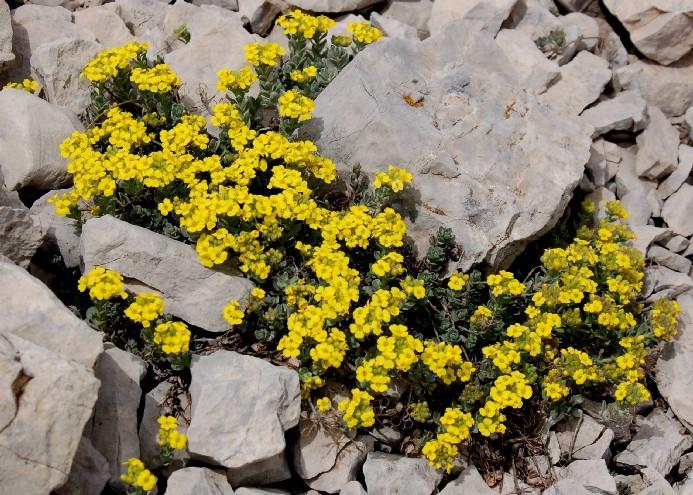Alyssum cuneifolium subsp. cuneifolium