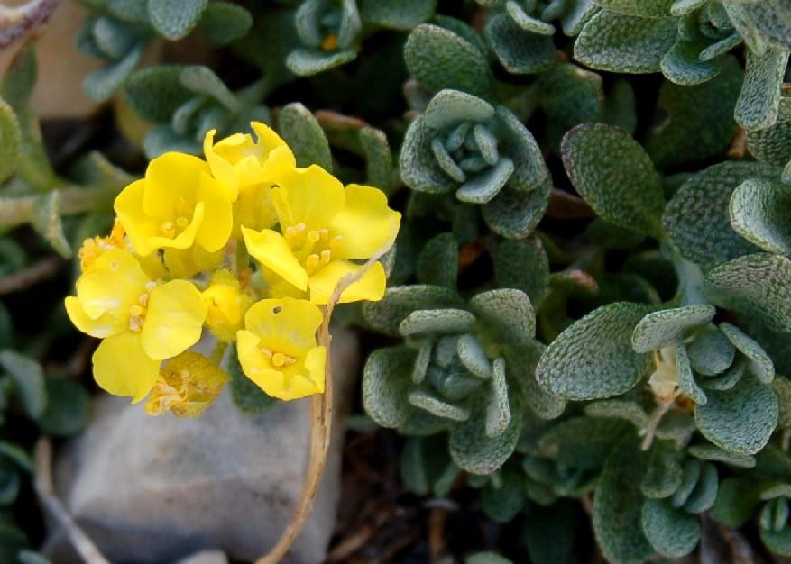 Alyssum cuneifolium subsp. cuneifolium 2