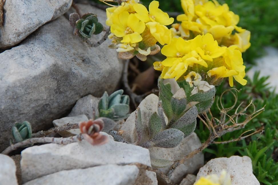 Alyssum cuneifolium subsp. cuneifolium 3
