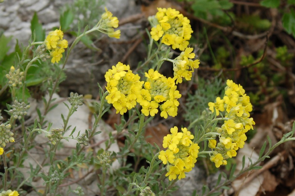 Alyssum montanum susbp. montanum
