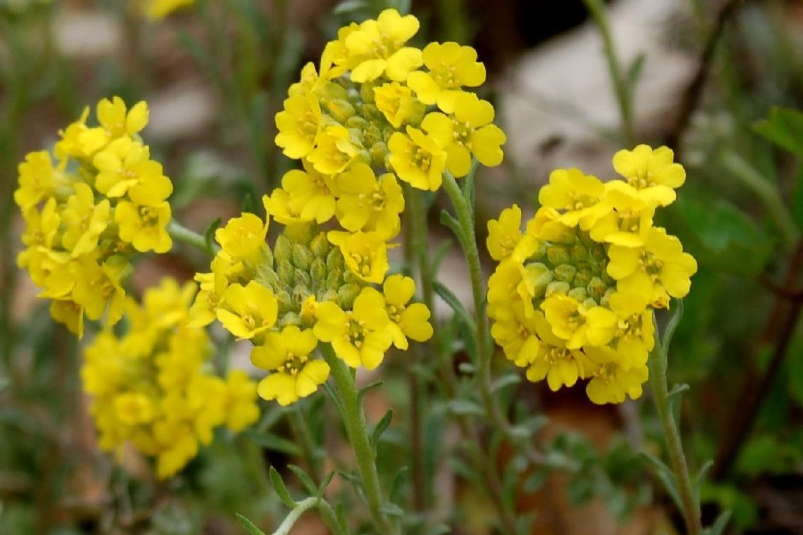 Alyssum montanum susbp. montanum 2