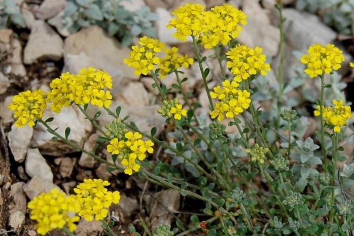 Alyssum montanum susbp. montanum 3