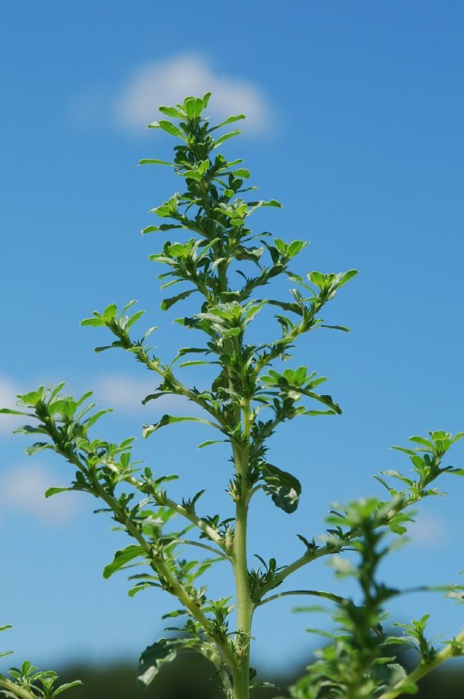 Amaranthus albus 11
