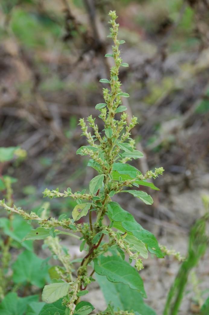 Amaranthus albus 7