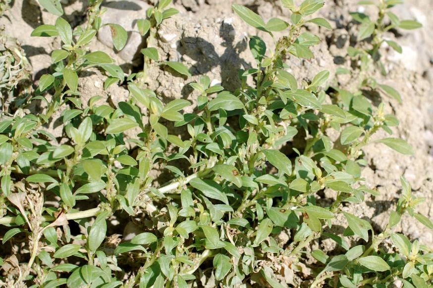 Amaranthus blitoides 14