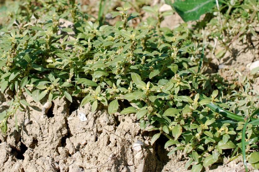 Amaranthus blitoides 15
