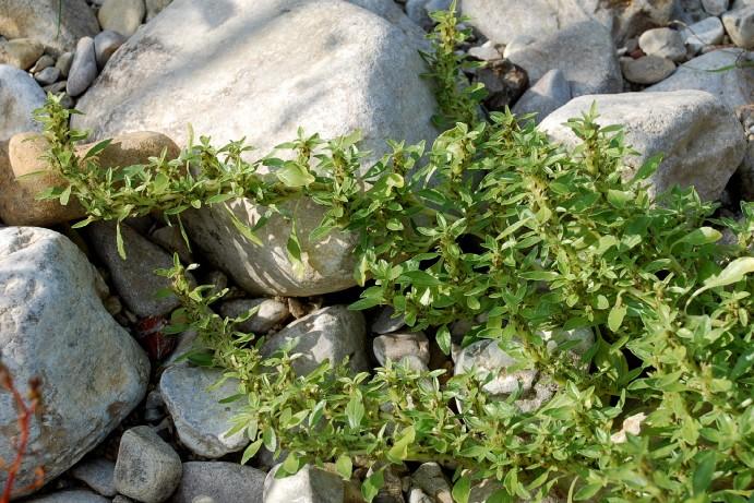Amaranthus blitoides 8