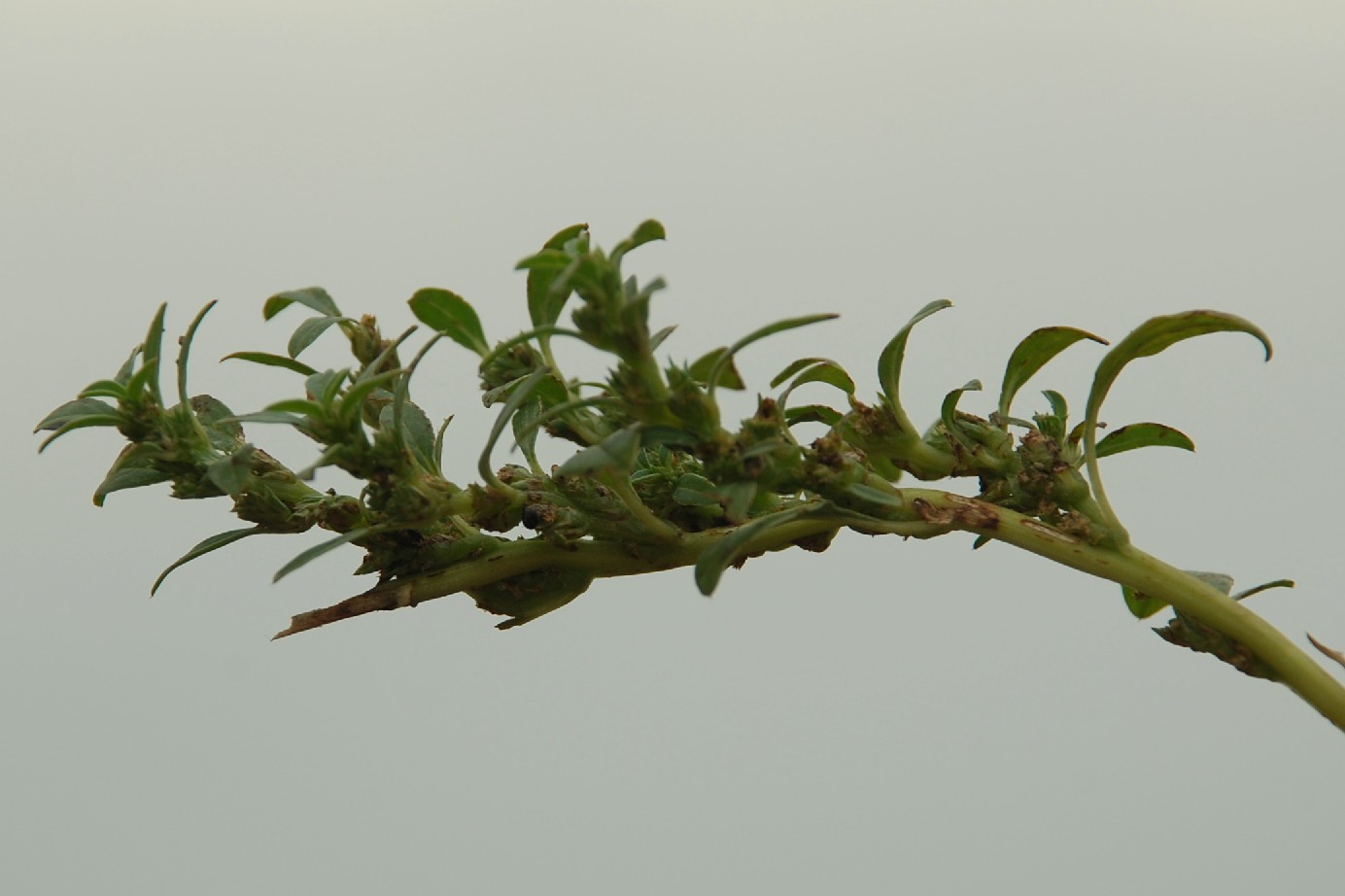 Amaranthus blitoides 9