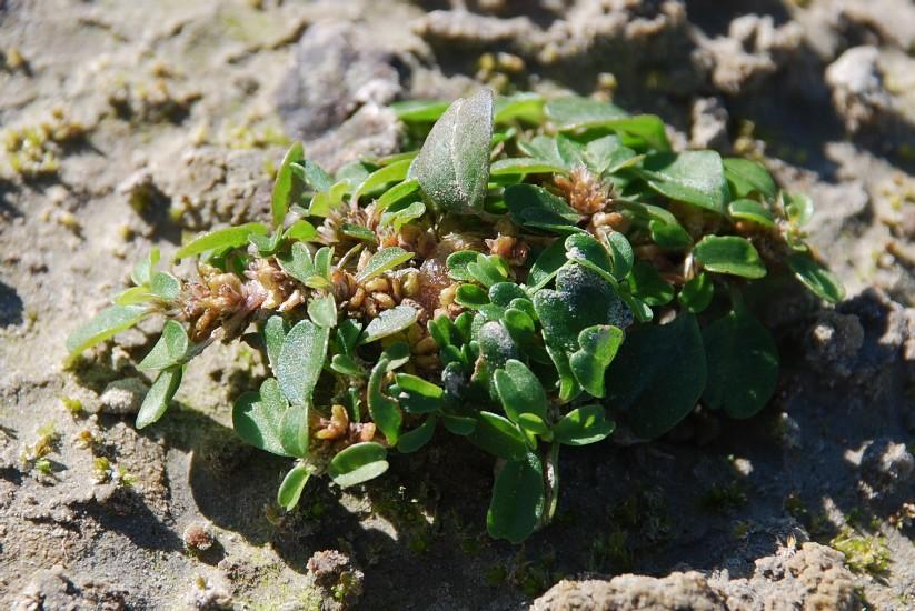 Amaranthus blitum 10