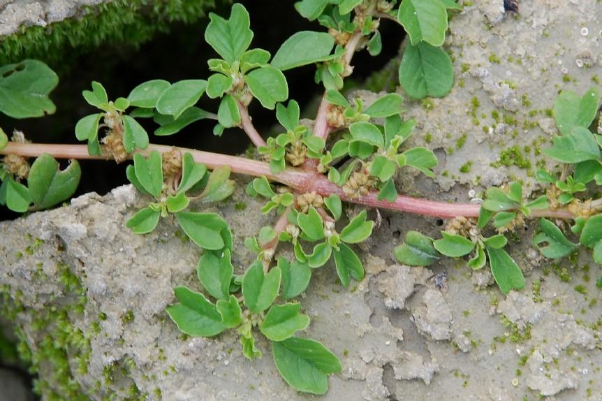 Amaranthus blitum 13