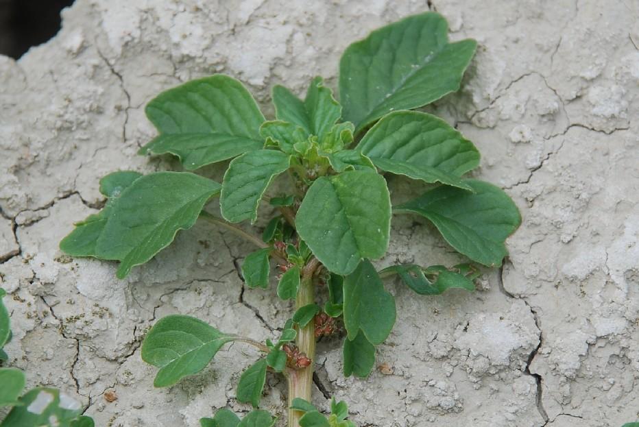 Amaranthus blitum 14