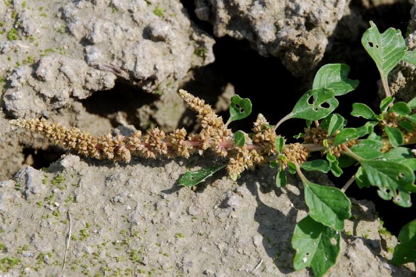 Amaranthus blitum 18