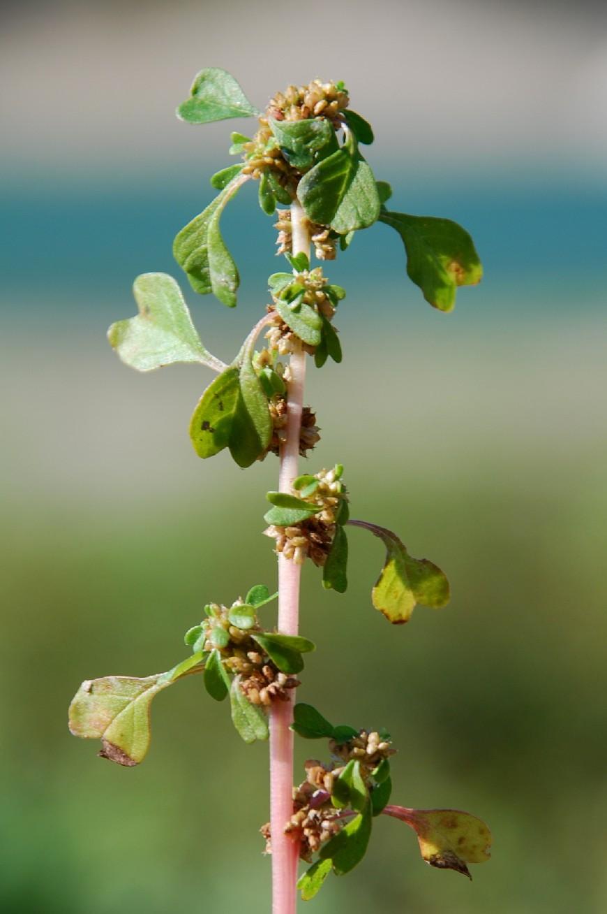 Amaranthus blitum 4