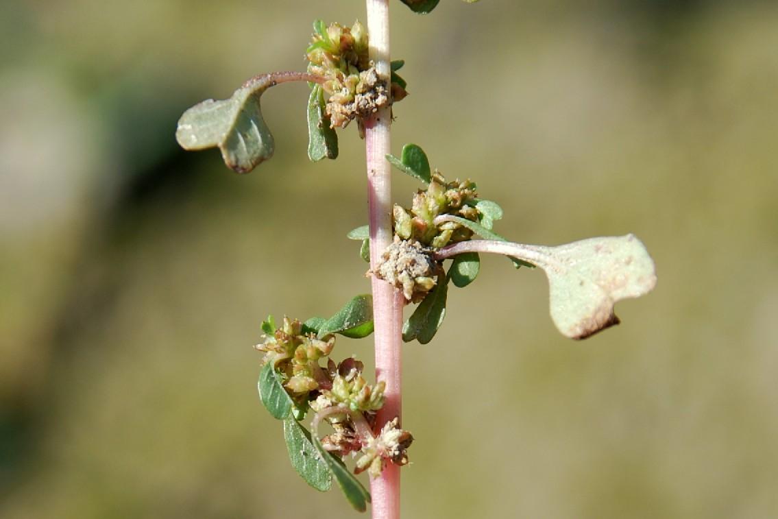 Amaranthus blitum 5