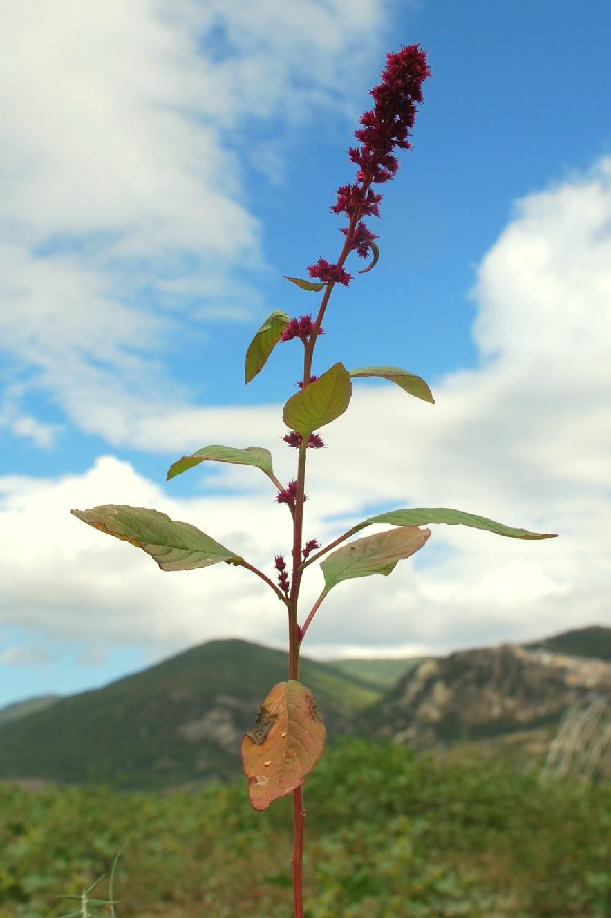 Amaranthus cruentus 11
