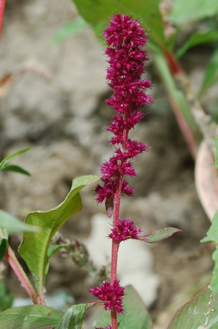 Amaranthus cruentus 2