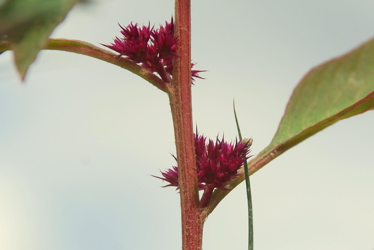Amaranthus cruentus 8