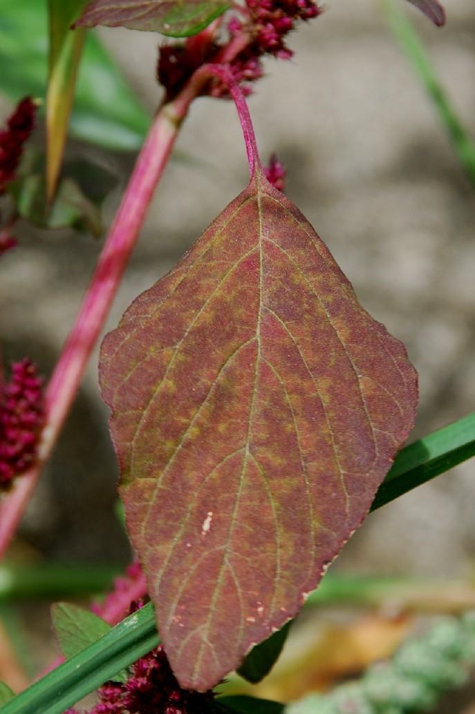 Amaranthus cruentus 9