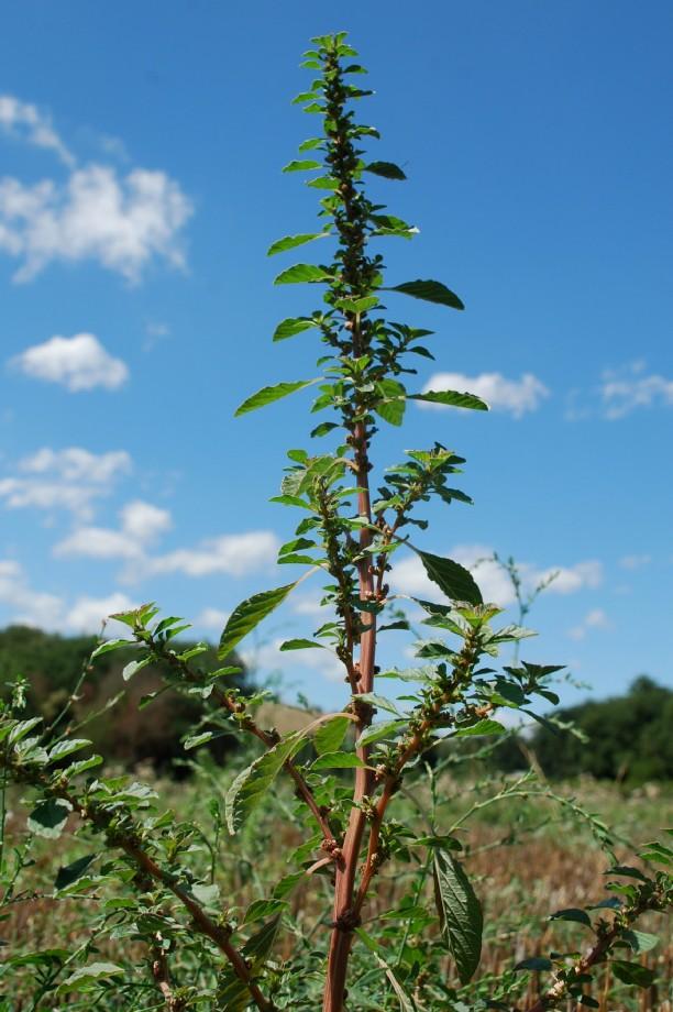 Amaranthus graecizans 13