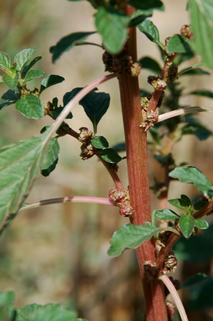Amaranthus graecizans 14