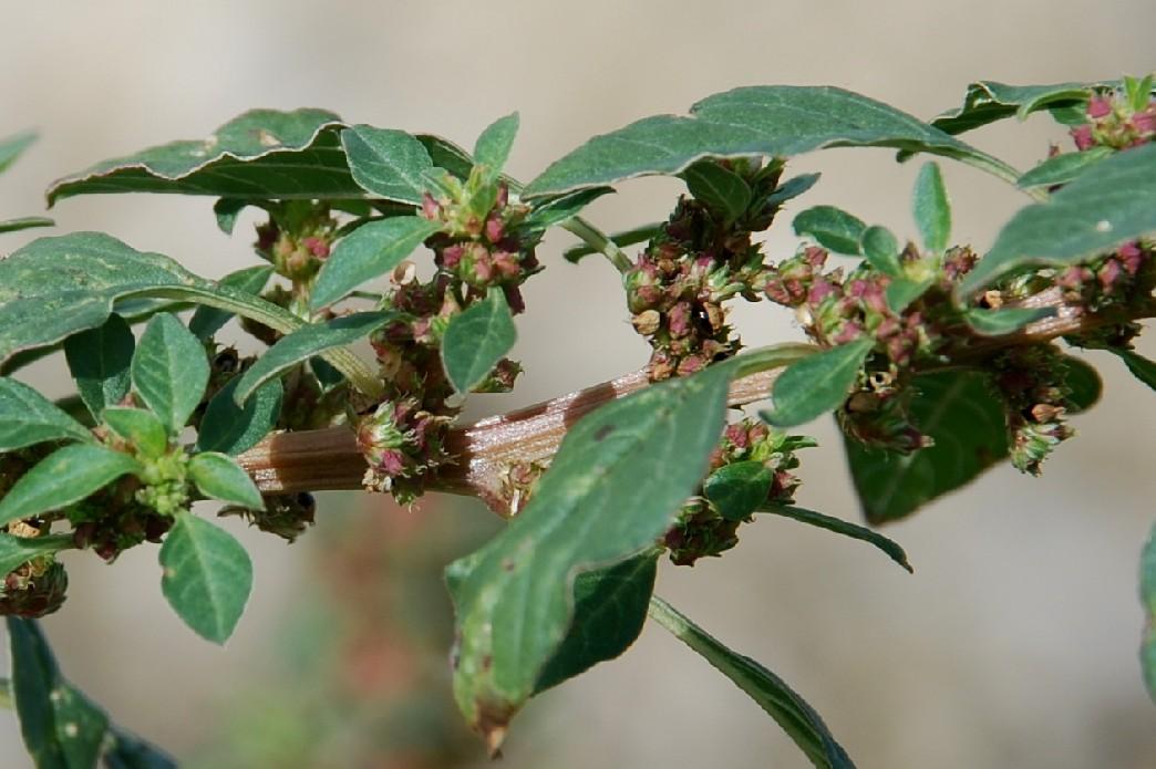 Amaranthus graecizans 19