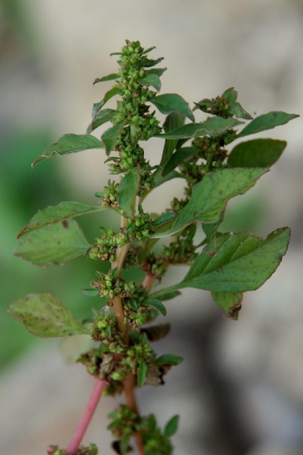 Amaranthus graecizans 6