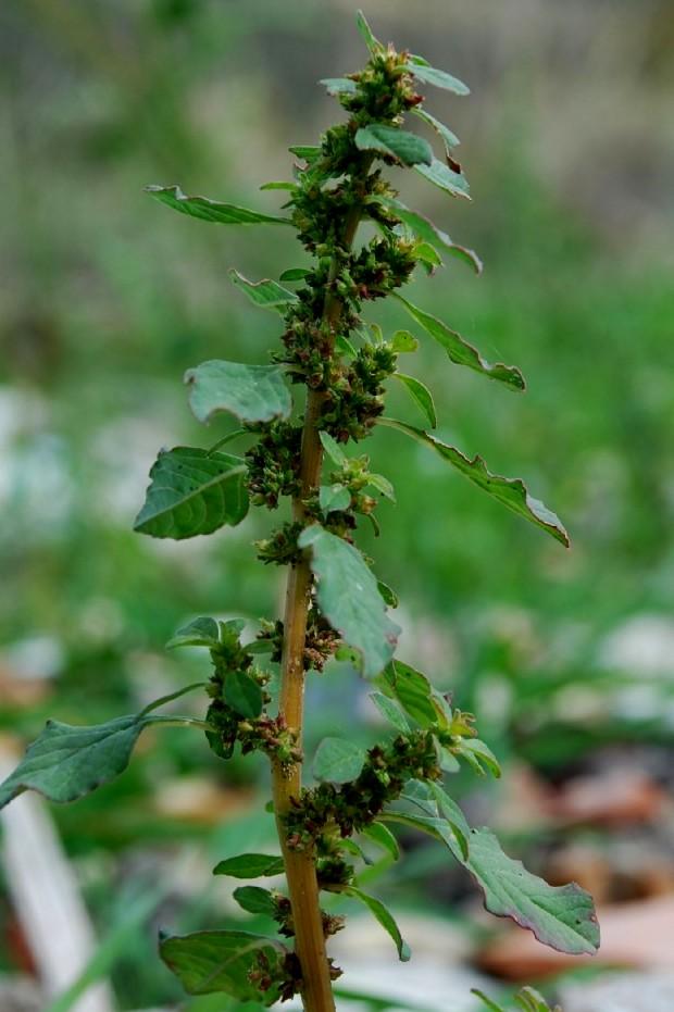 Amaranthus graecizans 8