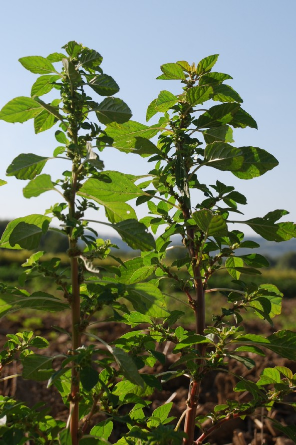 Amaranthus graecizans 9