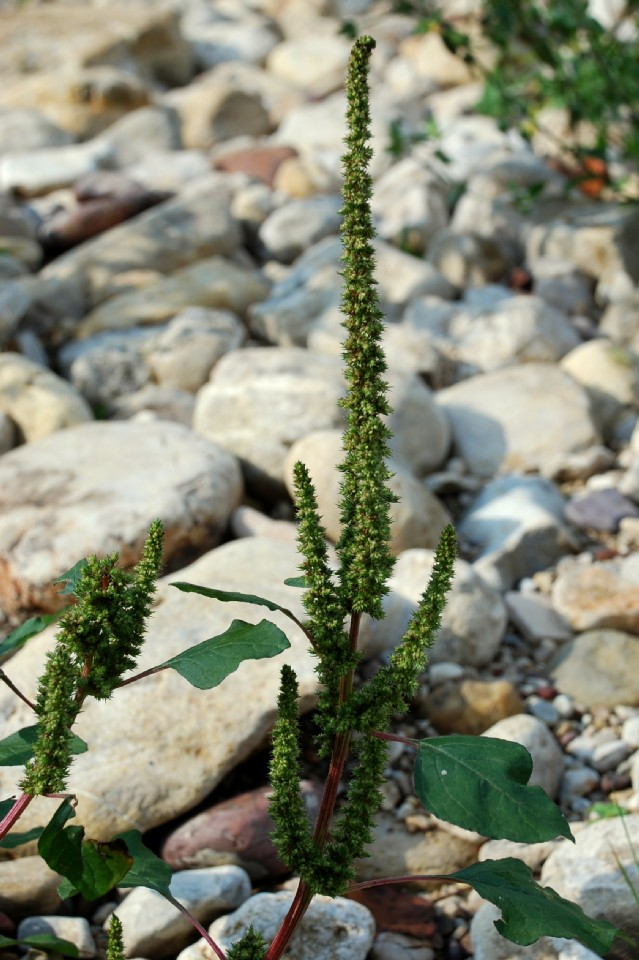 Amaranthus hybridus 2