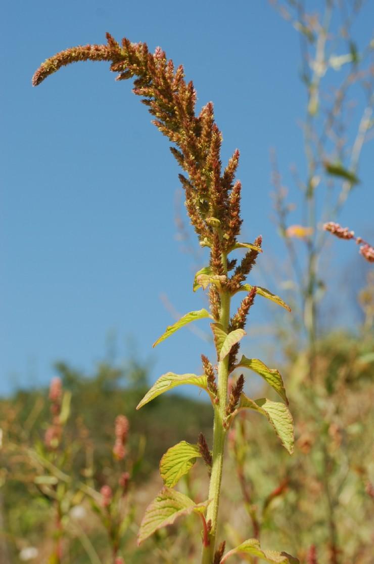 Amaranthus retroflexum 10
