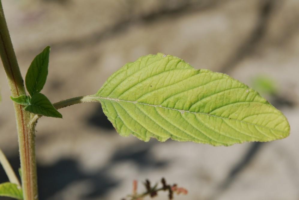 Amaranthus retroflexum 11