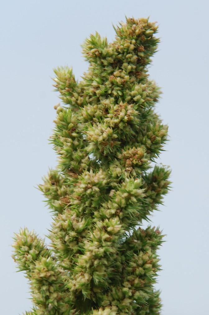 Amaranthus retroflexum 14