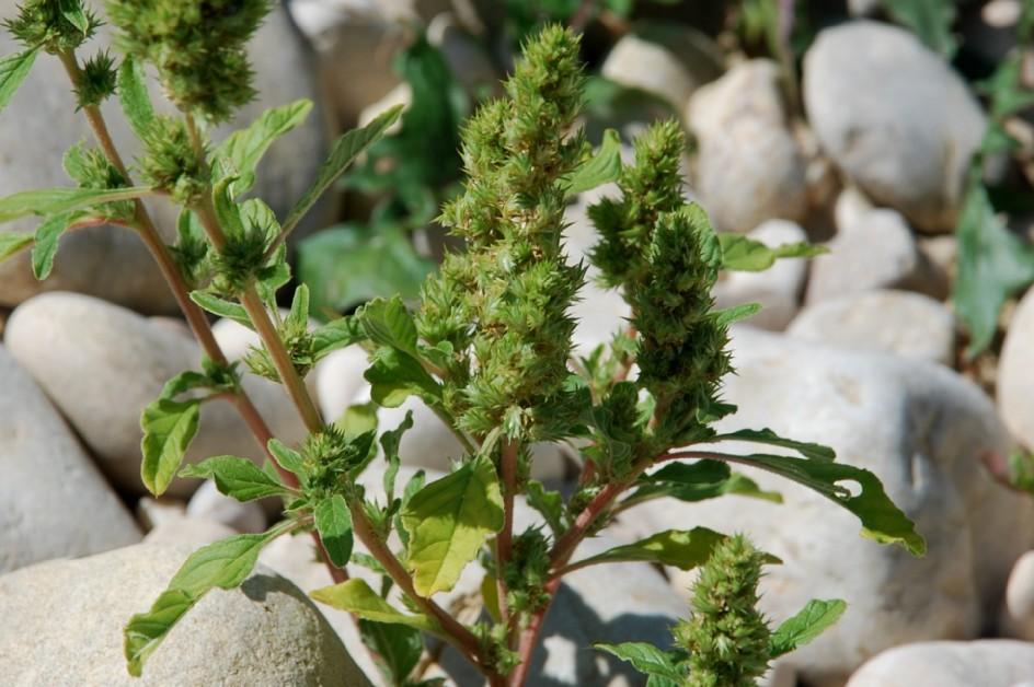 Amaranthus retroflexum 19