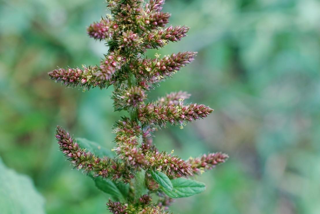 Amaranthus retroflexum 27