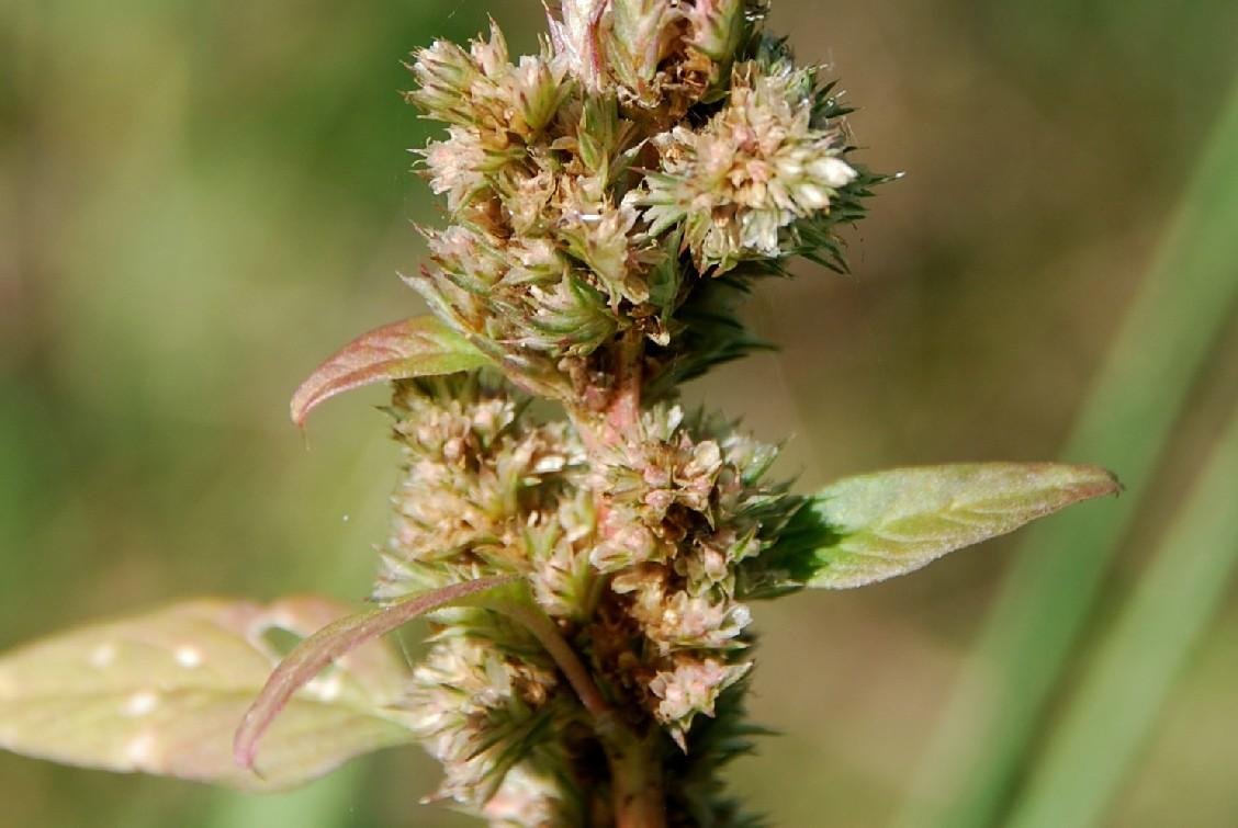 Amaranthus retroflexum 5