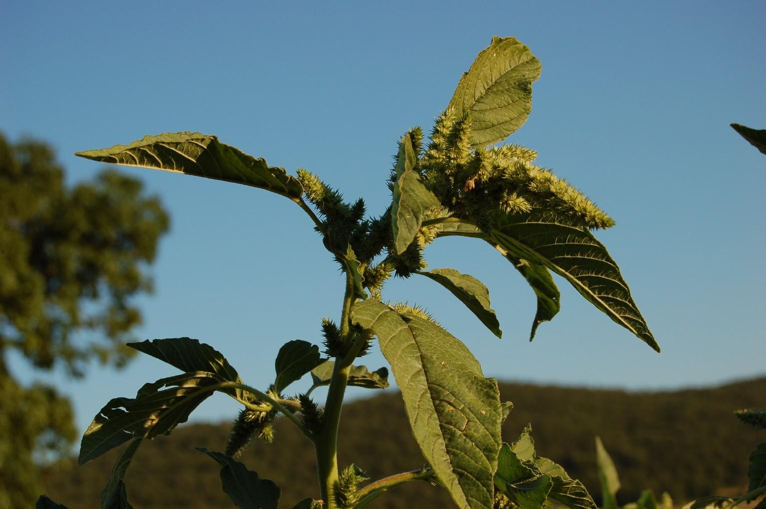 Amaranthus retroflexum
