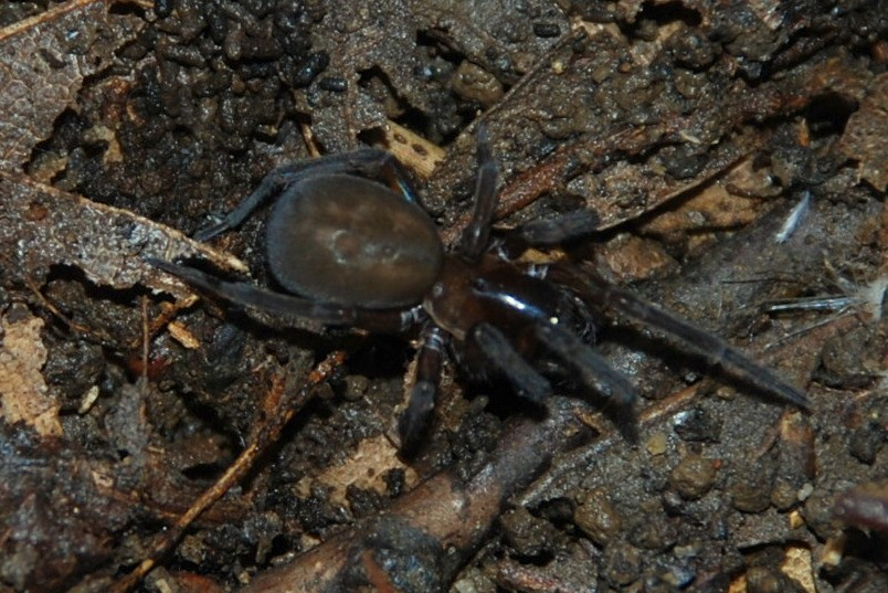 Amaurobius sp. - Amaurobiidae