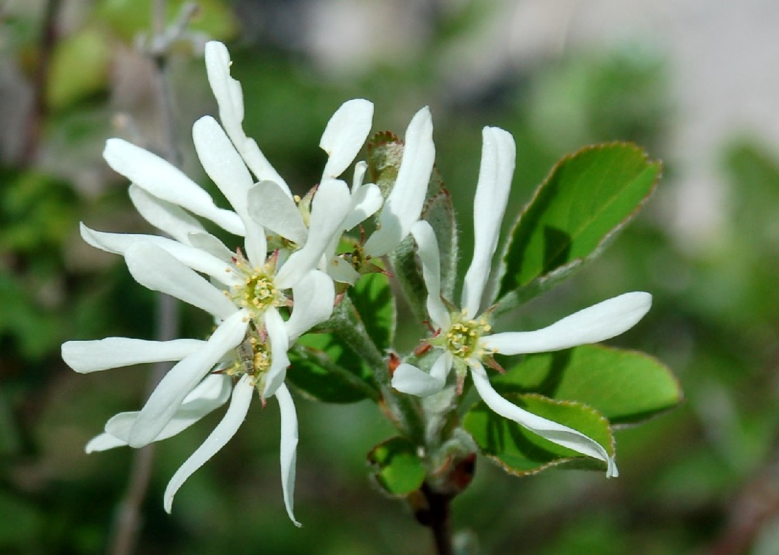 Amelanchier ovalis subsp. ovalis