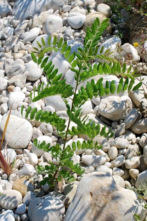 Amorpha fruticosa 13