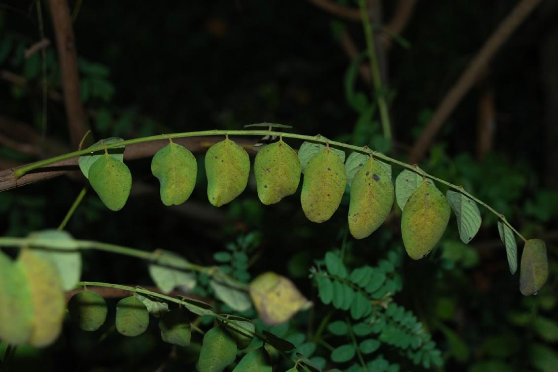 Amorpha fruticosa 4