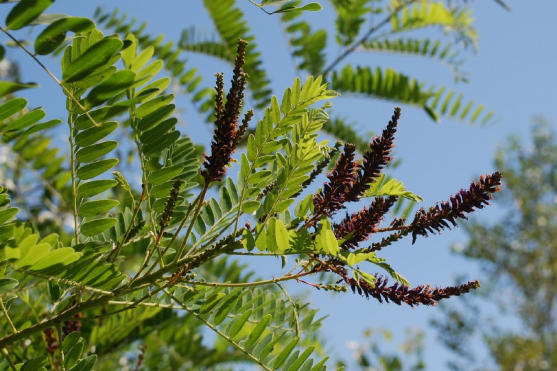 Amorpha fruticosa 7