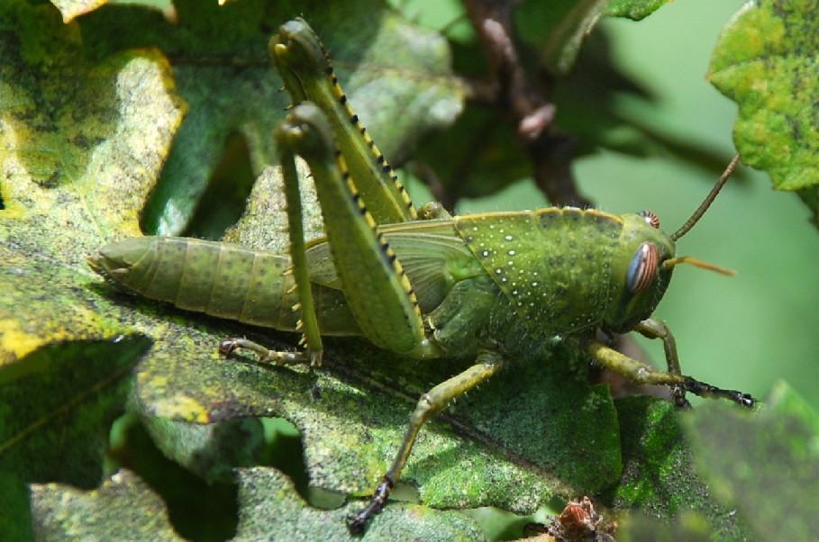 Anacridium aegyptium - Acrididae