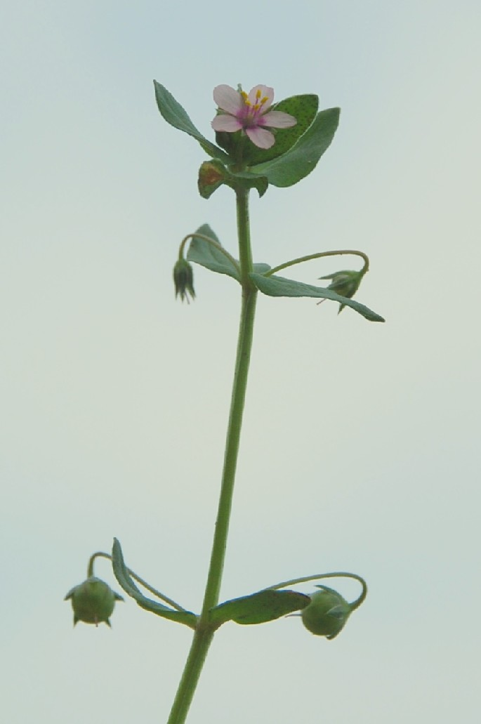 Anagallis arvensis subsp. arvensis 11
