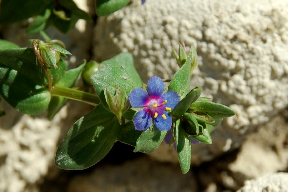 Anagallis arvensis subsp. arvensis 18