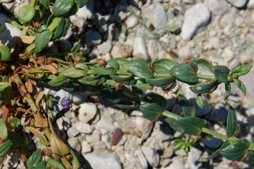 Anagallis arvensis subsp. arvensis 19