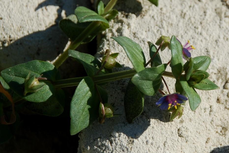 Anagallis arvensis subsp. arvensis 20