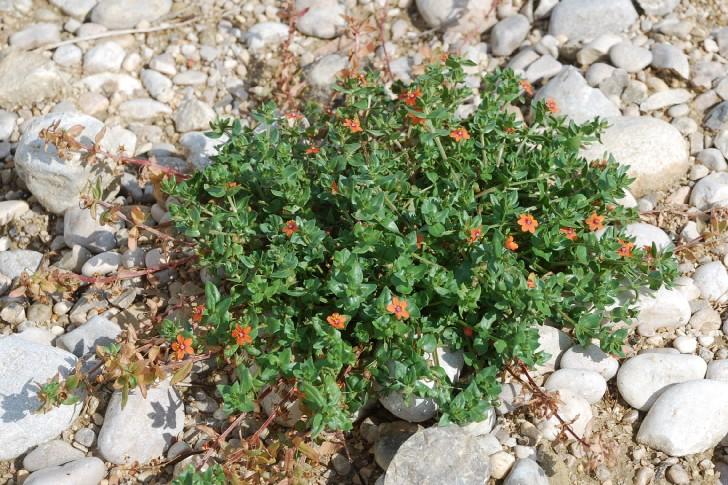 Anagallis arvensis subsp. arvensis 22