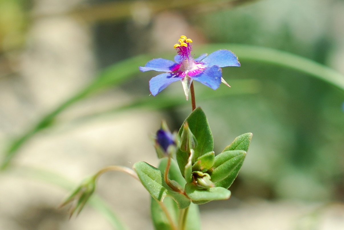 Anagallis arvensis subsp. arvensis 28