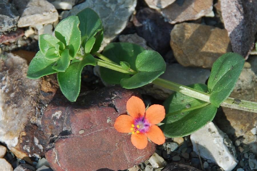 Anagallis arvensis subsp. arvensis 4